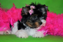 biewer yorkshire terrier puppy