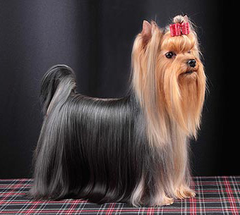 Unfold The History Of Yorkshire Terrier