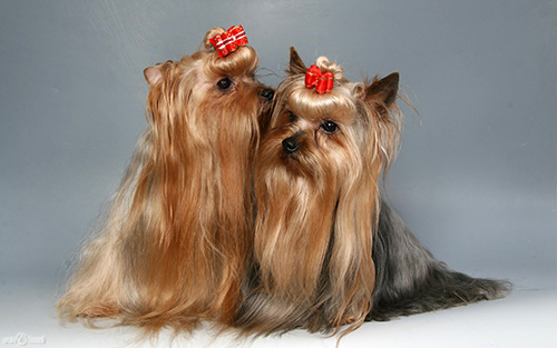 of Yorkshire terrier