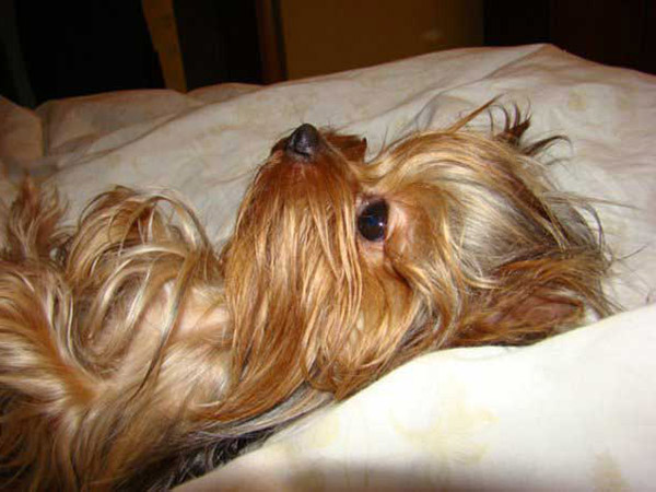 washing yorkshire terrier