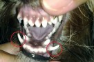 Special Methods For Yorkshire Terrier Teeth Care