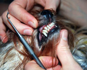 yorkie-teeth-care