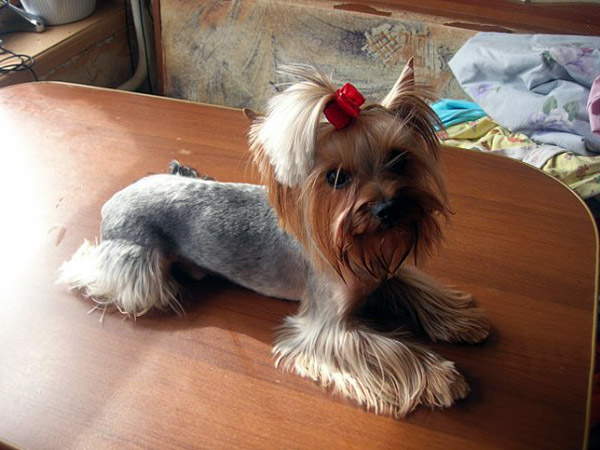 Superb Yorkie Haircuts Pictures And Select The Best Style For Your Pet Short Hairstyles Gunalazisus