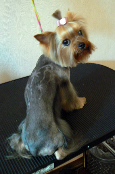 the latest yorkie haircuts pictures through these pet hairstyle ...