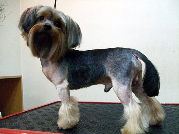 cute haircuts for yorkies