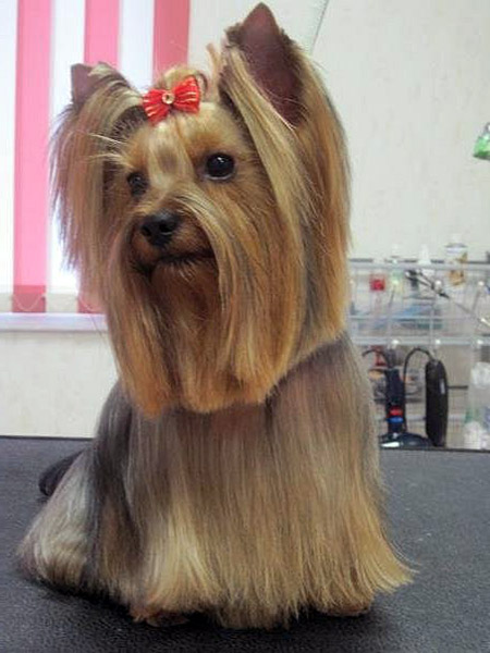 cute yorkie haircut
