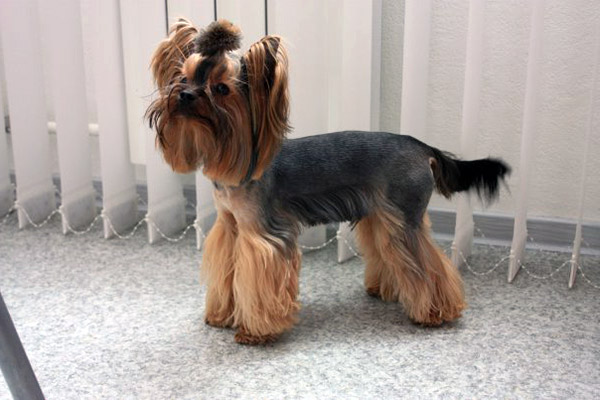 Home Hair Color Natural Haircut Hair Styling Remy hair Hair ExtensionsYorkshire Terrier Puppy Haircuts