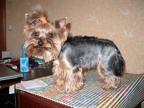 haircut styles for yorkies