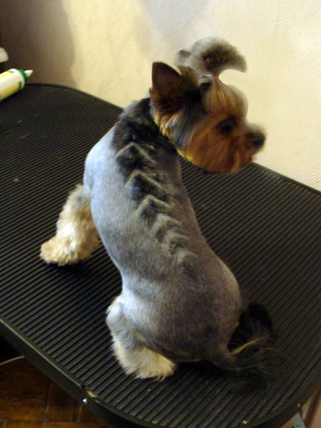 Explore Yorkie Haircuts Pictures And Select The Best Style For Your ...