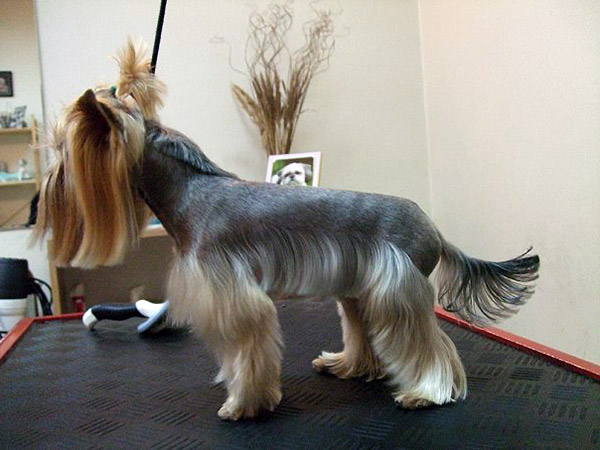 Fabulous Yorkie Haircuts Pictures And Select The Best Style For Your Pet Short Hairstyles Gunalazisus