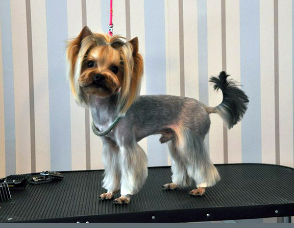 Sensational Yorkie Haircuts Pictures And Select The Best Style For Your Pet Short Hairstyles Gunalazisus