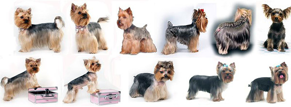 Swell Yorkie Haircuts Pictures And Select The Best Style For Your Pet Short Hairstyles Gunalazisus