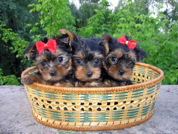 Lighting Up Your Life With Yorkie Teacup Puppies