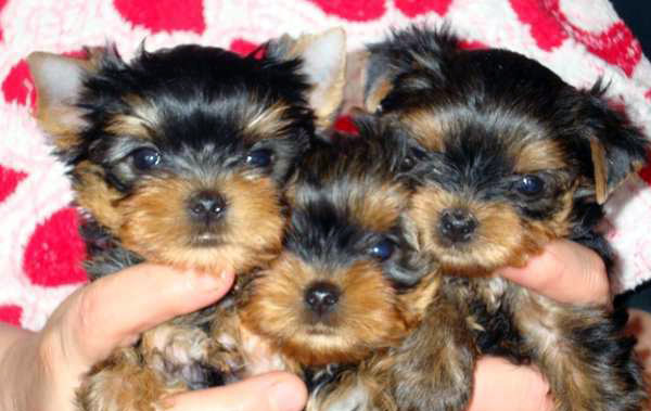 tiny teacup puppies