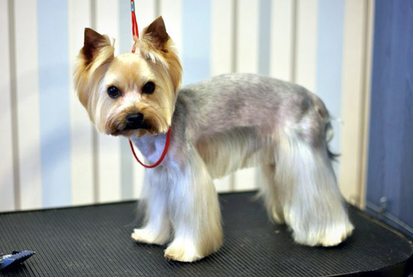 Pics Photos - Related Pictures Cute Yorkie Haircuts