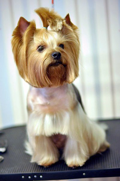 Yorkshireterrierkingdom Explore Yorkie Haircuts Pictures And