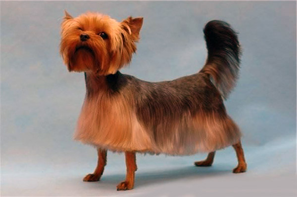 yorkie haircuts photos