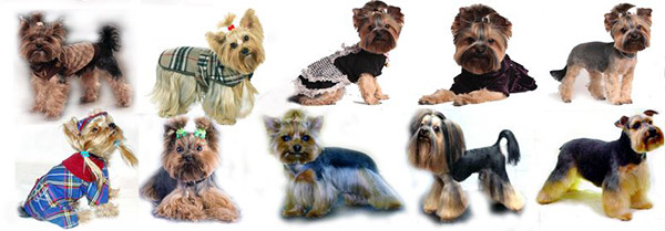 yorkie haircuts pictures