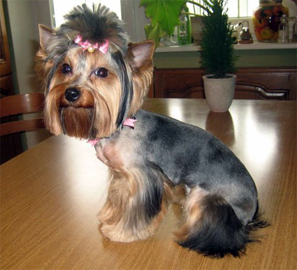 Yorkie Haircut Pictures http://yorkshireterrierkingdom.com/yorkie-haircuts-pictures