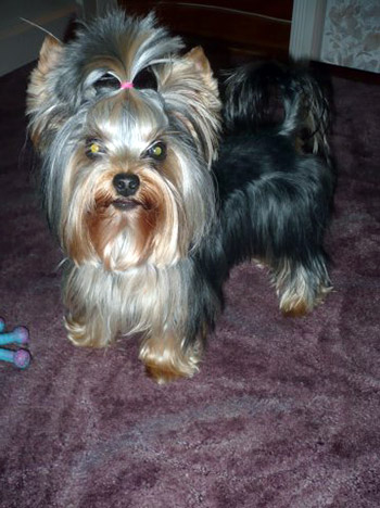 yorkie hairstyles pictures