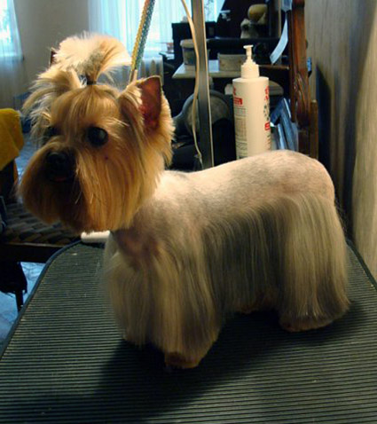 ... 2013 yorkshire terrier pictures haircuts yorkie haircut styles picture