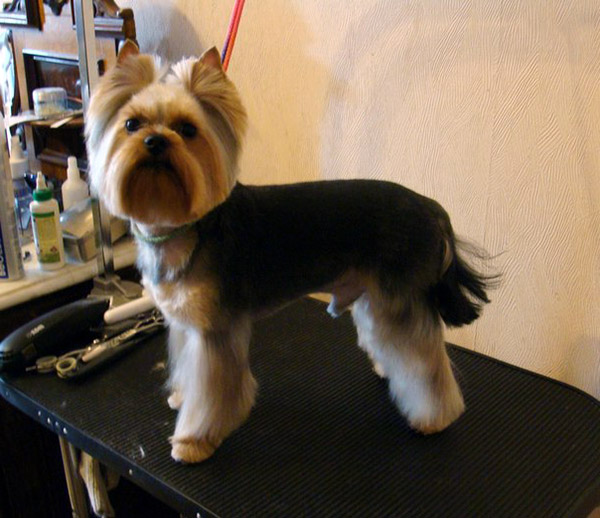 Yorkshire Terrier Male Haircuts Explore yorkie haircuts pictures and ...