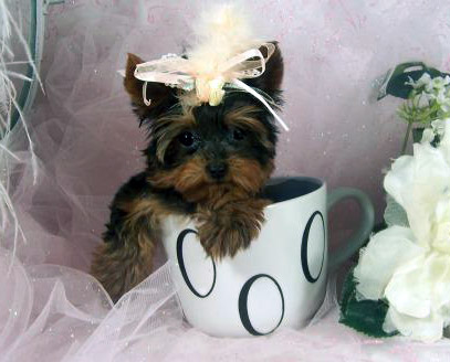 yorkshire terrier teacup puppies