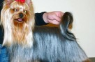 yorkshire terrier grooming tips