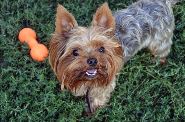 how to house train a yorkshire terrier