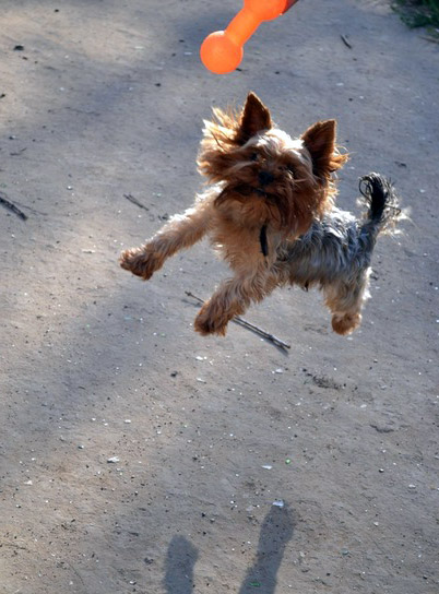 how to train a yorkshire terrier puppy