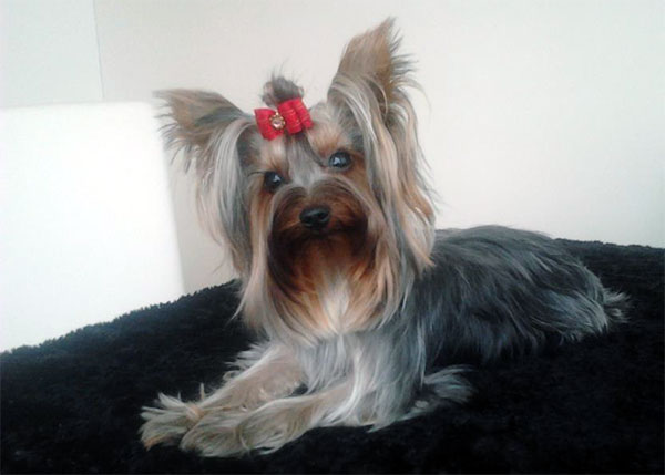 yorkshire terrier health issues