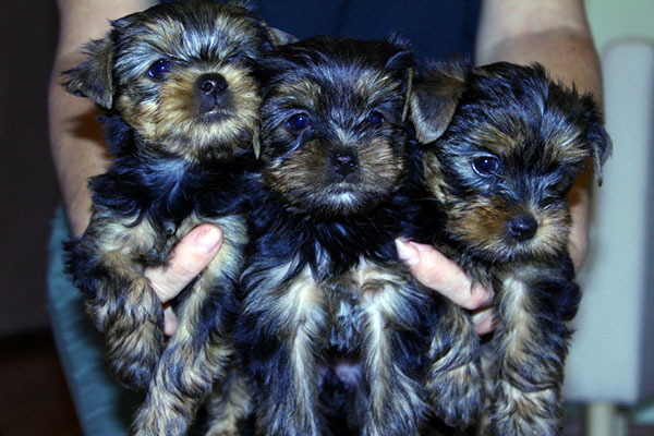 yorkshire terrier health