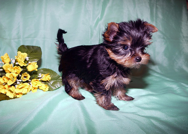 miniature yorkie terrier