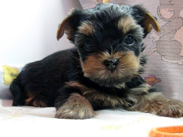 miniature yorkshire terrier