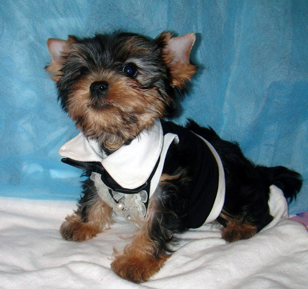 teacup yorkie clothes and accessories