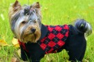 yorkie clothes and accessories