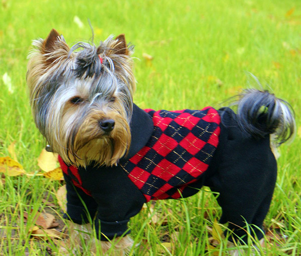 Dress-Up Your Pup Better With Classy Yorkie Clothes And Accessories