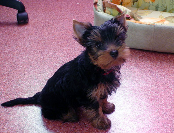 facts about yorkies