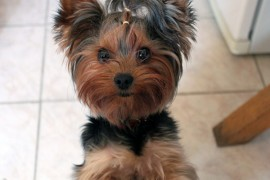 yorkie facts