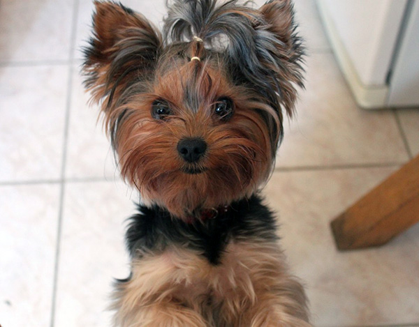 Interesting Yorkie Facts from the Imaginary Federation of World Wide Dogs