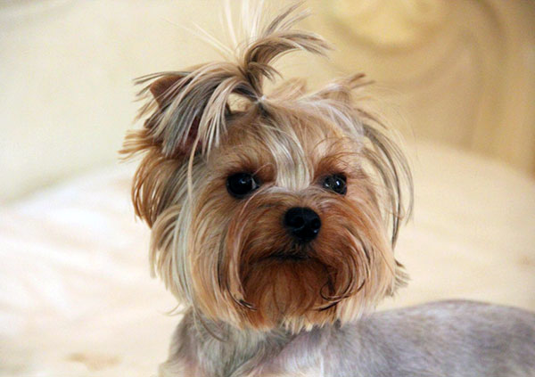 yorkie mixes