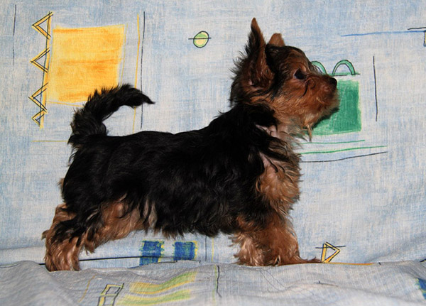 Yorkie Names For Females