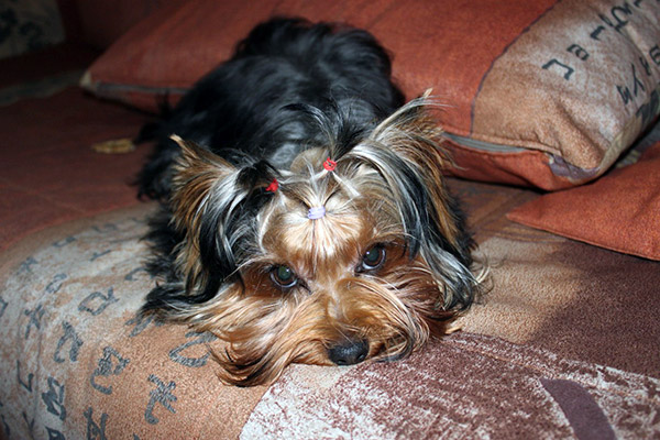 yorkshire terrier facts