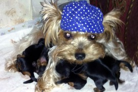 breeding yorkies first time