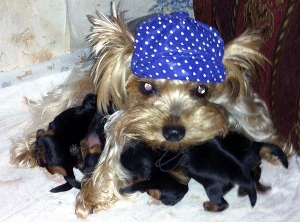 Take Care of the Crucial Aspects While Breeding Yorkies First Time