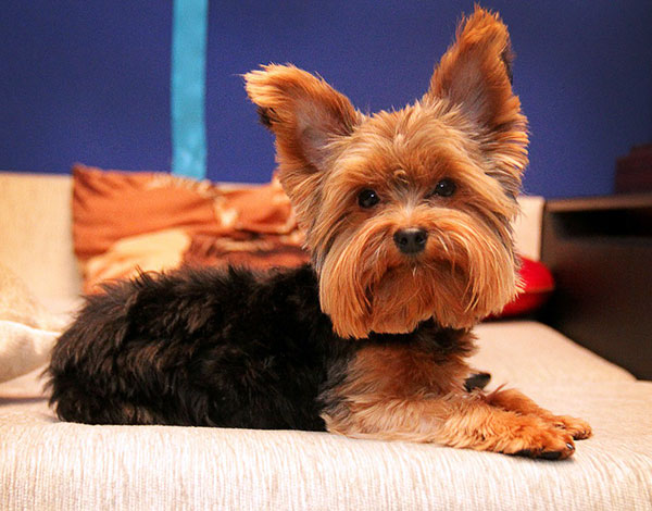 You Need To Take Adequate Steps To Treat Yorkie Ear Infection