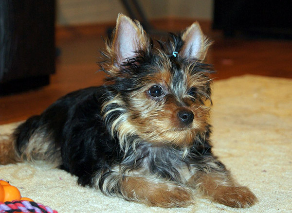 choose yorkie puppy