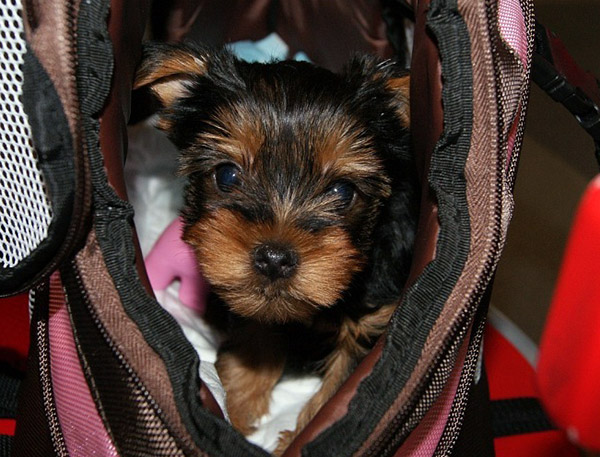 choosing yorkie puppy