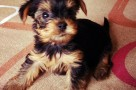 choosing yorkshire terrier puppy