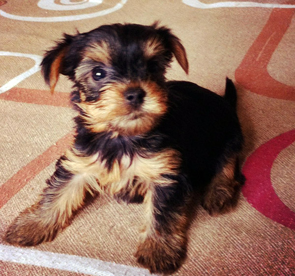 Choosing Yorkshire Terrier Puppy Based On Understanding Your Temperament
